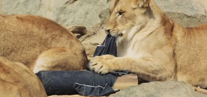 ZOO JEANS: A NEW BRAND FASHIONABLY RIPPED BY LIONS, TIGERS AND BEARS