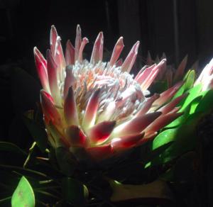local king protea